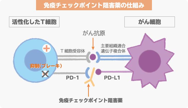 免疫 チェック ポイント 阻害 剤 免疫療法 もっと詳しく知りたい人へ:[国立がん研究センター