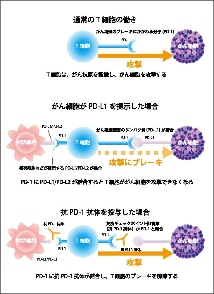 抗PD-1 抗体薬、抗PD-L1抗体薬の効くしくみ
