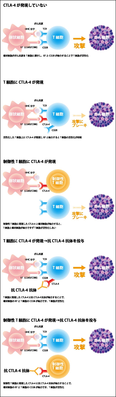 抗CTLA-4抗体薬の効くしくみ