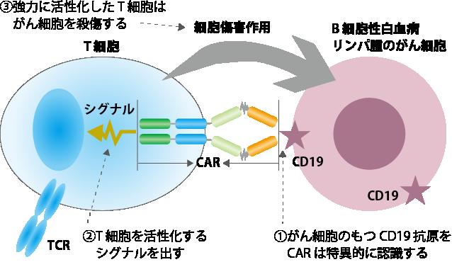 CAR-T細胞の働き