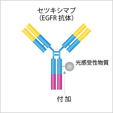 光感受性物質をがん細胞と選択的に結合する抗体に付加