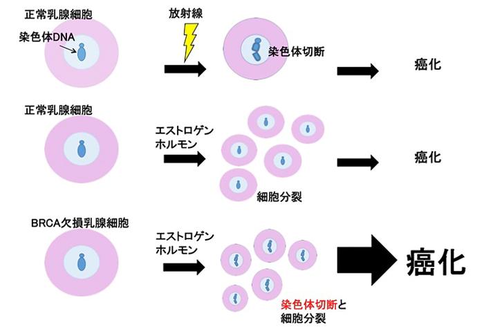 BRCA1遺伝子